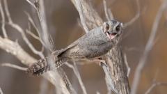 Australian Owlet-nightjar (Image ID 34528)