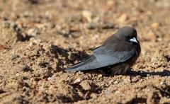 Little Woodswallow (Image ID 34490)