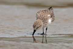 Red-necked Stint (Image ID 34521)