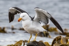 Pacific Gull (Image ID 34471)