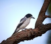 Grey Butcherbird (Image ID 34432)