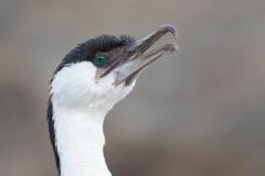 Black-faced Cormorant (Image ID 34662)