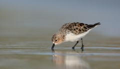 Red-necked Stint (Image ID 34548)