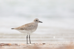 Grey Plover (Image ID 34442)
