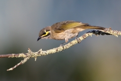 Yellow-faced Honeyeater (Image ID 34551)