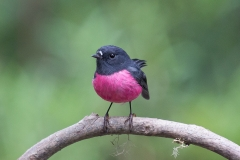Pink Robin (Image ID 34454)