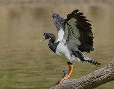 Magpie Goose (Image ID 34635)