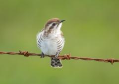 Horsfield's Bronze-Cuckoo (Image ID 34648)