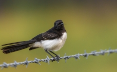 Willie Wagtail (Image ID 34580)