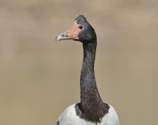 Magpie Goose (Image ID 34633)
