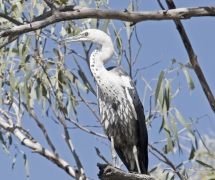 White-necked Heron (Image ID 34423)