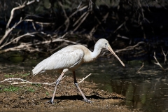 Yellow-billed Spoonbill (Image ID 34562)