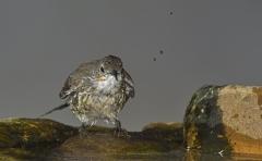 White-throated Treecreeper (Image ID 34443)