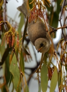 Fuscous Honeyeater (Image ID 34453)