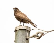 Brown Falcon (Image ID 34615)