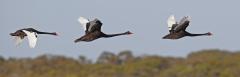 Black Swan (Image ID 34538)