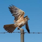 Brown Falcon (Image ID 34609)