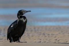 Little Black Cormorant (Image ID 34522)