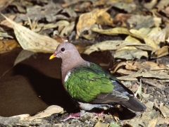 Brown-capped Emerald-Dove (Image ID 34576)