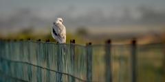 Black-shouldered Kite (Image ID 34592)