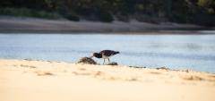 Australian Pied Oystercatcher (Image ID 34605)