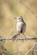 Brown Songlark (Image ID 34612)