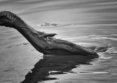 Black Swan (Image ID 34663)