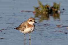 Greater Sand Plover (Image ID 34566)