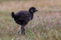 Tasmanian Native-hen (Image ID 34469)