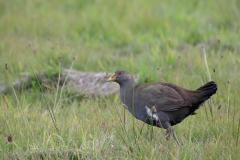 Tasmanian Native-hen (Image ID 34929)
