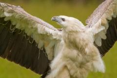 White-bellied Sea-Eagle (Image ID 34669)