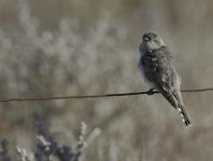 Horsfield's Bronze-Cuckoo (Image ID 35069)