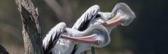Australian Pelican (Image ID 34911)