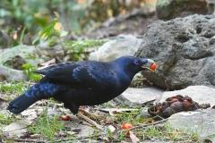 Satin Bowerbird (Image ID 34823)