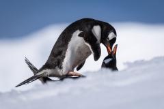 Gentoo Penguin (Image ID 34724)