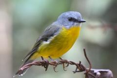 Eastern Yellow Robin (Image ID 34779)