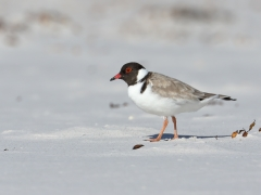 Hooded Plover (Image ID 34884)