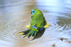 Turquoise Parrot (Image ID 34876)