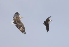 Osprey, White-bellied Sea-Eagle (Image ID 34861)