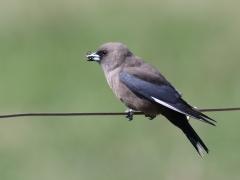 Dusky Woodswallow (Image ID 34746)