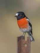 Scarlet Robin (Image ID 34754)