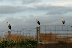 White-necked Heron (Image ID 34792)