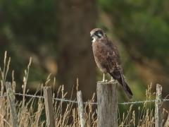 Brown Falcon (Image ID 34949)