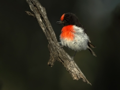 Red-capped Robin (Image ID 34751)