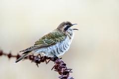 Horsfield's Bronze-Cuckoo (Image ID 34918)