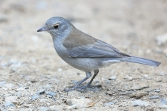 Grey Shrike-thrush (Image ID 34821)