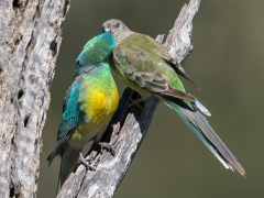 Red-rumped Parrot (Image ID 34950)