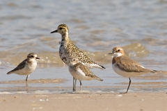 Double-banded Plover, Greater Sand Plover, Pacific Golden Plover (Image ID 34819)