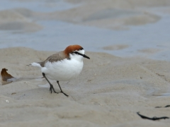 Red-capped Plover (Image ID 34947)