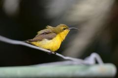 Olive-backed Sunbird (Image ID 34729)